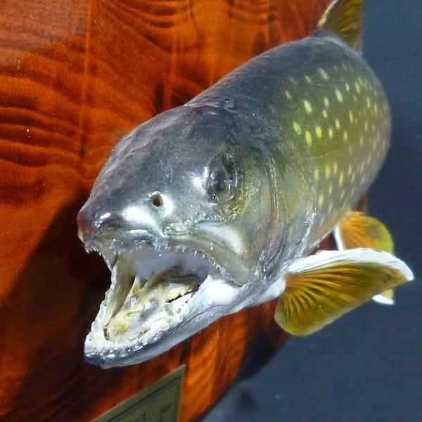 魚 剥製 アメマス 34cm / 釣りキチ工房 飾り物_2