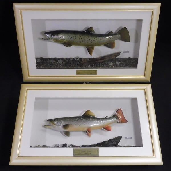 剥製 ブラウントラウト 40cm ジャガー トラウト 35cm 魚_1